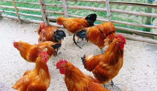 鶏はペットとして飼育できる?寿命や基本の飼育方法は?